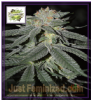 Cream of the Crop Lemon Venom Fem 5 Seeds
